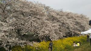 熊谷桜堤2017